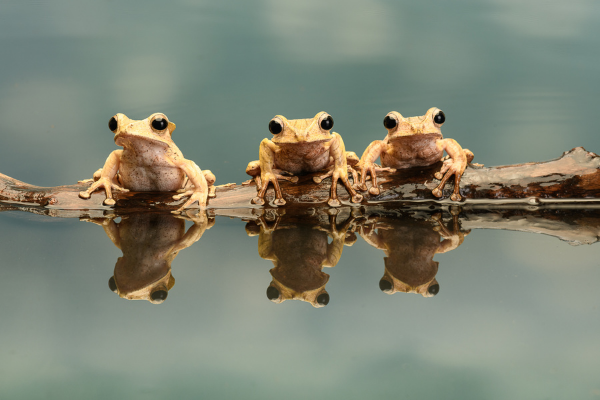 3 frogs sat on a log