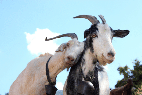 A pair of goats who look like they are in love